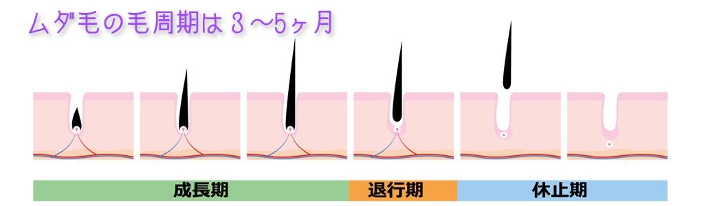 ムダ毛の毛周期